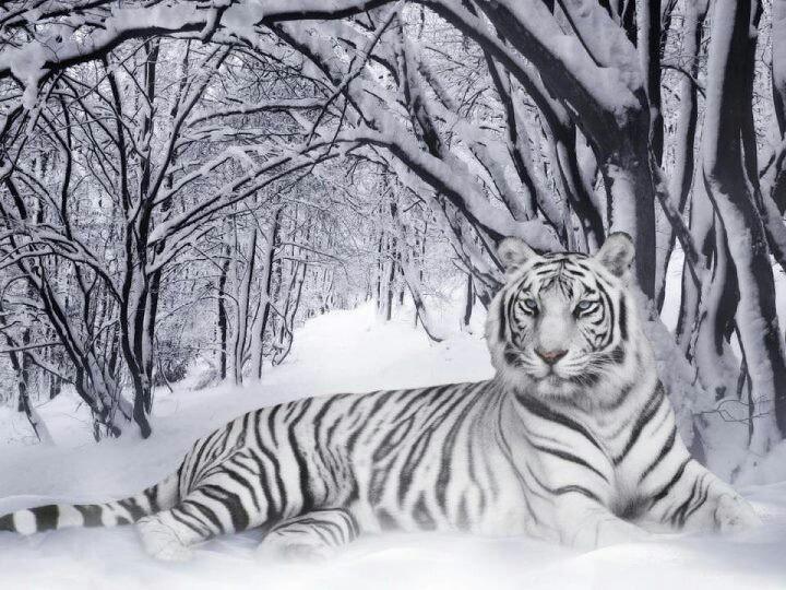 White tiger!! My favorite animal <3