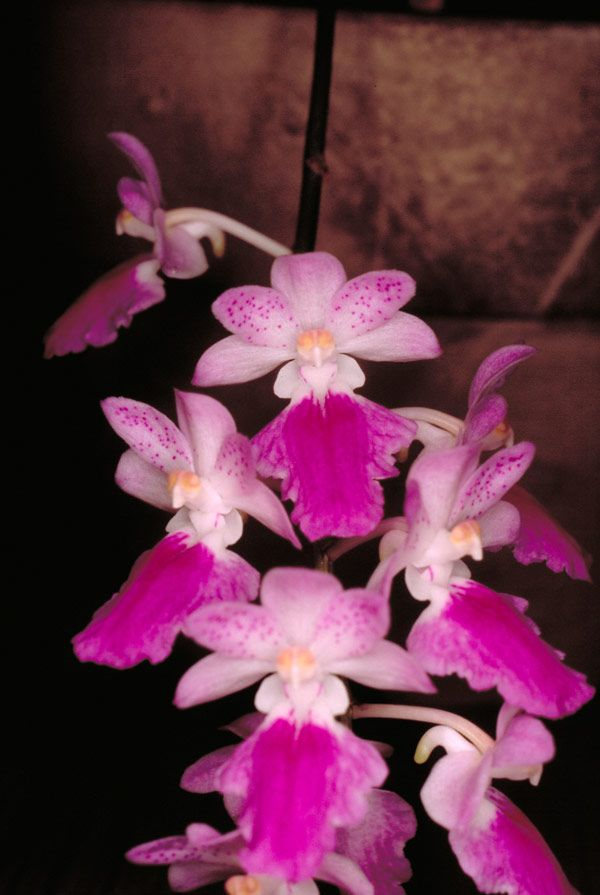 aerides maculosa lindl | Aerides maculosa Lindl. 1845 Photo by © Peter O'Byrne and The Swiss ...