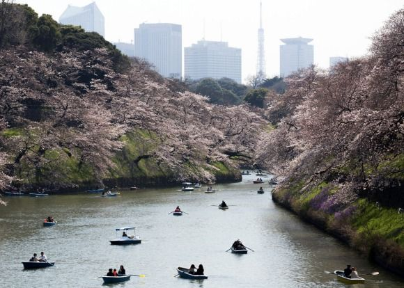 People ride row boats near cherry trees in bloom as the Tokyo Tower stands at the Chidorigafuchi moat in Tokyo, Japan. Japan's cherry blossom season is reaching its climax this week. T...