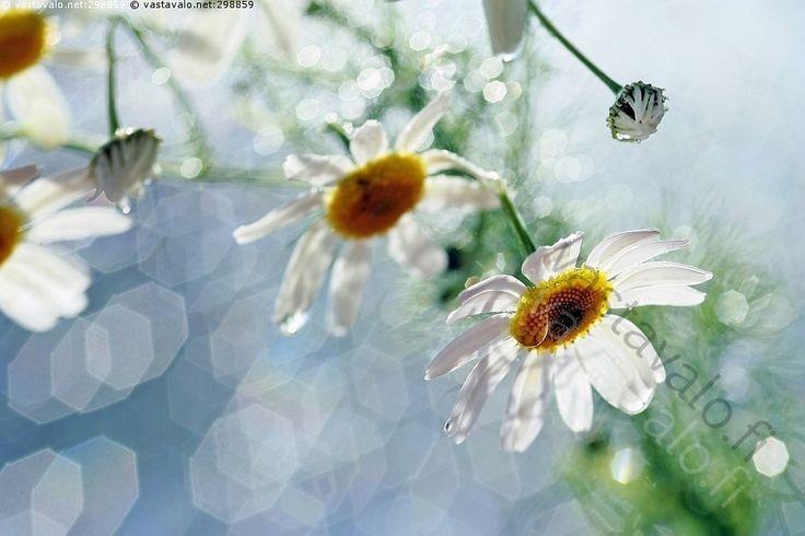 Kesän välkettä - kukka  linssiheijastukset Peltosaunio Matricaria perforata Tripleurospermum inodorum asterikukka asterikukat kasvi kukkia kesä luonto pallero pyöreä kimallus vastavalo kukinto luonnonkukka luonnonkukat valo linssiheijastus mykerökukkainen heijastukset