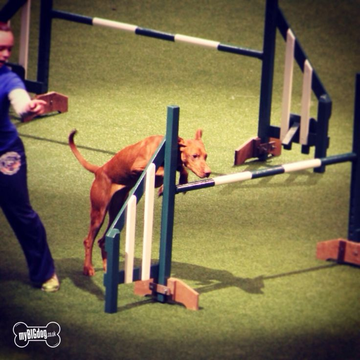 Rugby Dog Agility Show: 67 Best Dachshund Shows Images On Pinterest