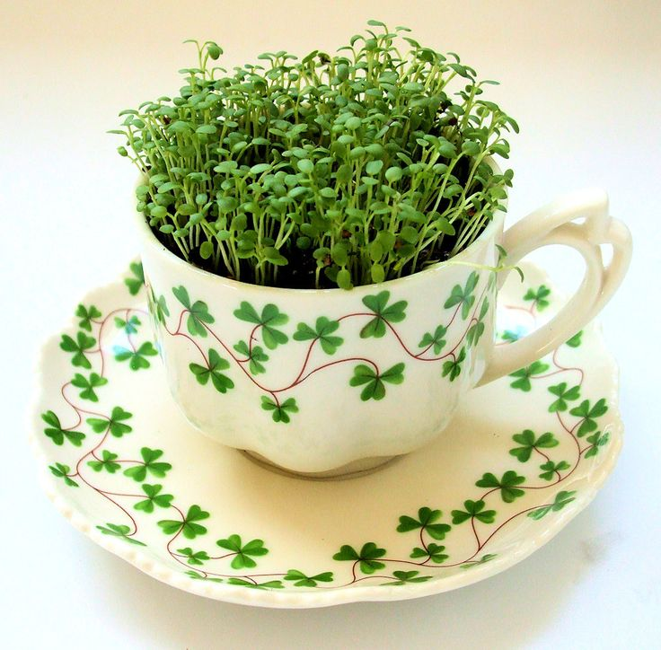 Vintage Teacup Garden - DIY Microgreens Kit