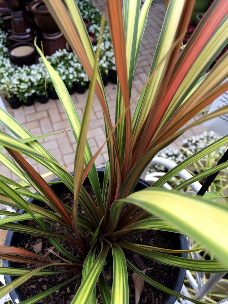 The variegated foliage of the Cha Cha Cordyline is a great contrast in semi-shade to sun
