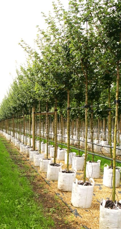 Acer campestre Queen Elzabet, but which field maple is best? https://www.barcham.co.uk/why-barcham/blog/whats-the-best-field-maple-variety
