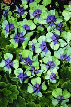 purple shamrock plants.......I have got to get me one of these