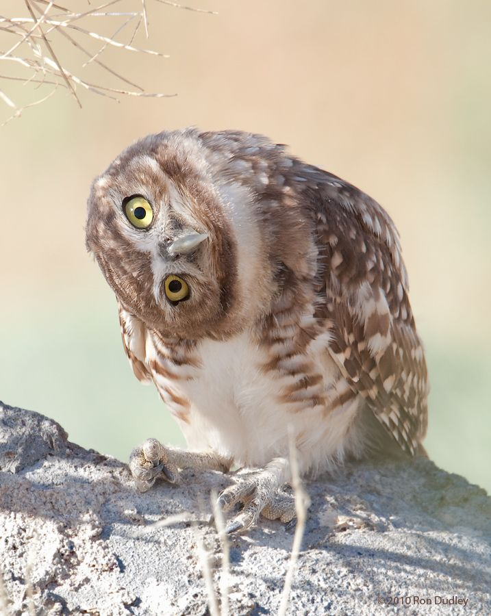 17 Best images about Owls on Pinterest | Feathers ...