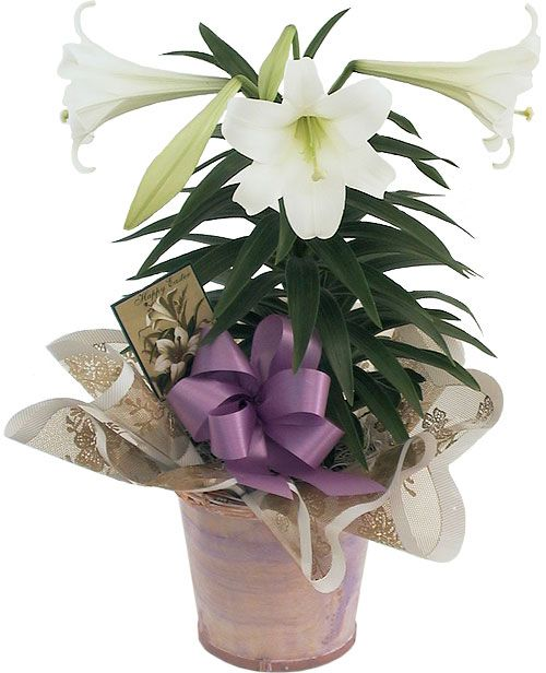 15 best easter lily board images on pinterest backyard ideas potted easter lily with purple bow and decorative wrapping negle Choice Image