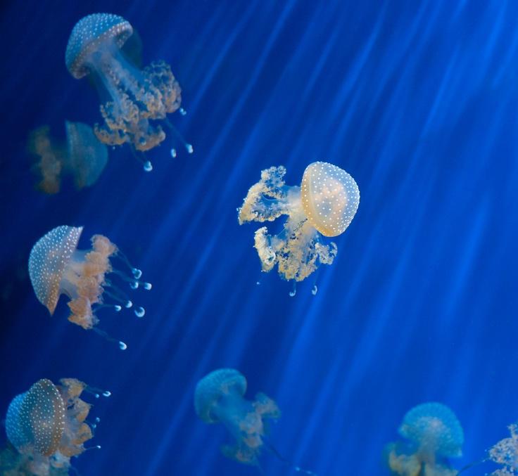 Jelly fish in Acquario of Genova