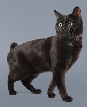 Learn all about the Manx cat breed!