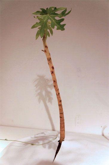 Carica papaya sp.(黄金パパイヤ)シンガポール政府が栽培実験をしている、熟れる前から黄金色の実がなるパパイヤの苗