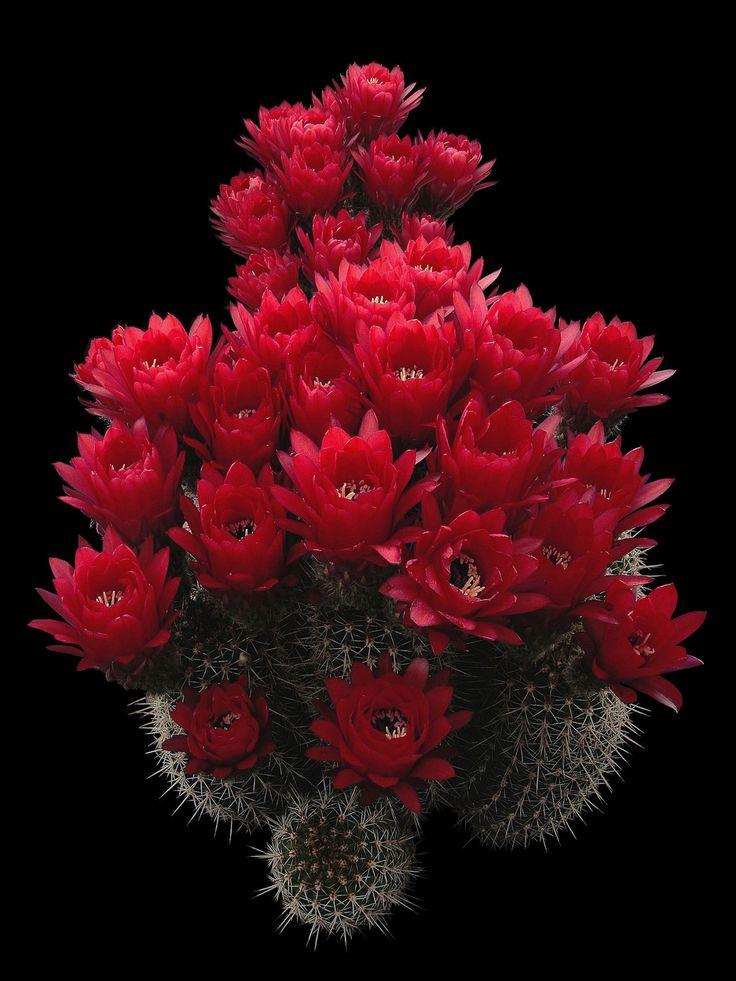 Echinopsis huascha (F.A.C. Weber) H.Friedrich & G.D.Rowley 1974 = Lobivia huascha (F.A.C. Weber) W.T.Marshall 1941 incl. Lobivia grandiflora var. longispina Rausch 1987 (forma WR 151 Agua de Las Palomas, Andalgalà, Catamarca, Argentina, 1500-2500 m.)
