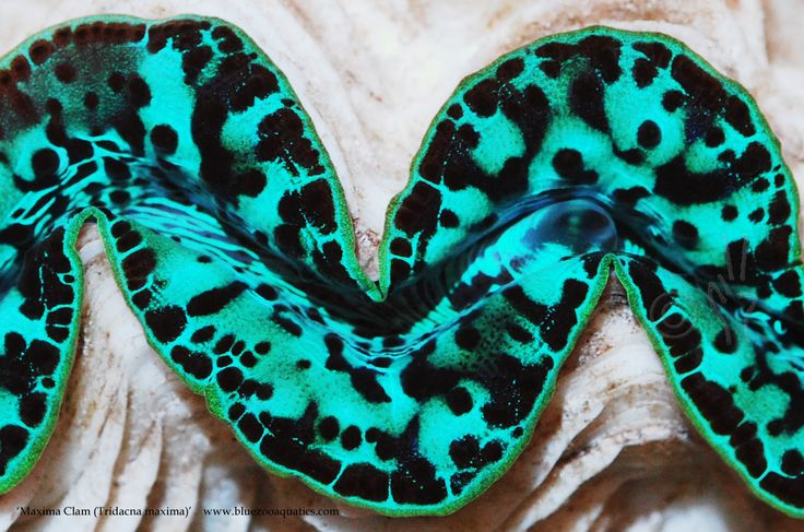 Collectors Choice WYSIWYG item Maxima Clam, Tridacna maxima