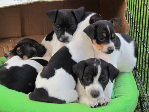 Mini and Toy Rat Terrier puppies Lovable furry friends