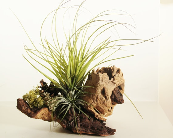 EU UK only / 3x mounted airplants on wood driftwood by prilbot, $29.99