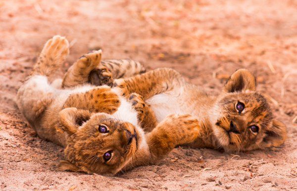 #Lion cubs are sociable babies,playing & play fighting.Up to how much can adult males weigh?Clue:it's more than you!