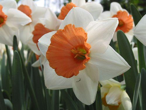 Narciso (Narcissus):  Esta bella flor es un habitante común en nuestros jardines, esconde numerosas toxinas perjudiciales para el organismo ...