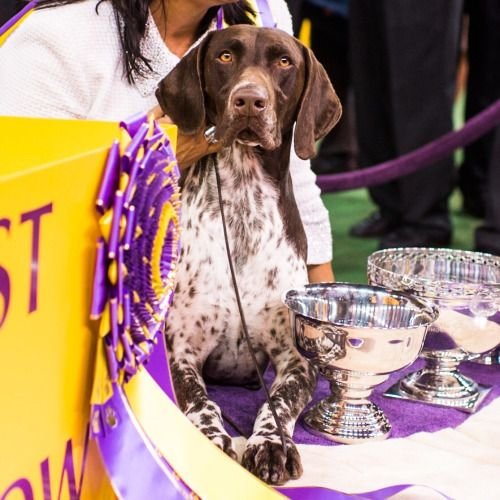 "FEB 17, 2016 CJ, German Shorthaired Pointer, #WKCDogShow, New York, NY • Best in Show 2016. HEY! This doggie is a local! So was his grandfather, who also took ""Best in Show"". I advocate for shelter dogs though."