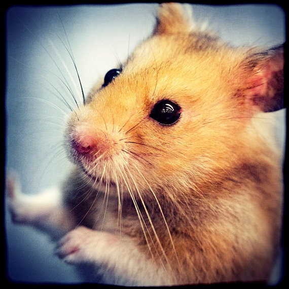 hammy photography hamster by slightclutter