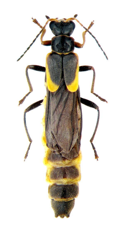 trypherus rossicus CANTHARIDAE