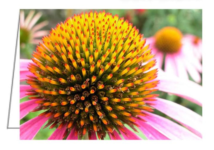 """Echinacea purpurea - Purple Cone Flower - Greeting Card. 5"""" x 7"""". Blank inside. Includes envelope. Buy online at Rob's Cards and Prints."""