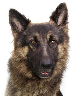 Bobby - German Shepherd mix - 4 years old - Oakland Park, FL - Animal Aid, Inc. - http://www.adoptapet.com/pet/10138287-oakland-park-florida-german-shepherd-dog-mix http://www.animal-aid.com -