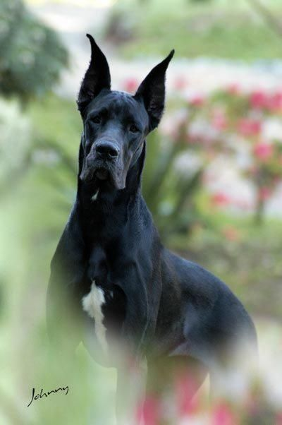 Raças de Cães - Grupo 3 (Cães de Guarda): Dogue Alemão