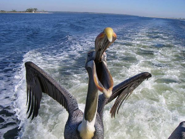 Snapping Pelican: Fish Boats, Ryan Kennedy, Art Photography, Snap Pelican, Pelican Photographers, Cameras Buttons, Birds, Animal Photos, Favorite Photographers