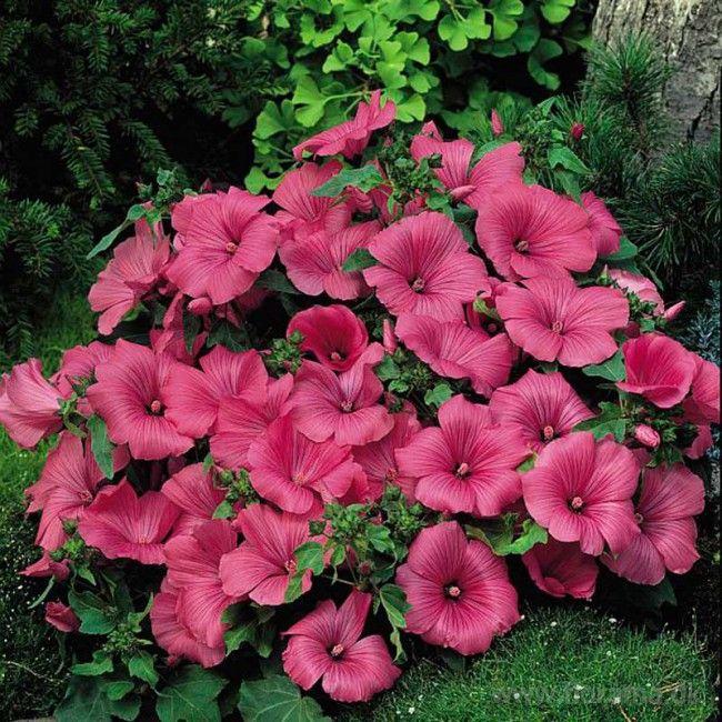 Mamelukærme - Lavatera trimestris 'Twins Hot Pink'