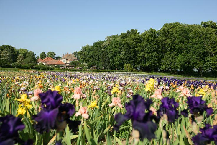 Les champs d'iris, le Château en arrière plan et les arbres de l'Allée Cavalière sur la droite