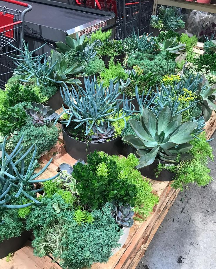 Beautiful 1.62 gallon #succulentgarden for $24.99! Price and availability may vary per store location! If you find these in your store grab one! #costco #costcodeals #succulents