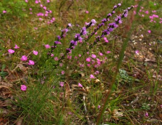 Liatris graminifolia grass leaf blazingstar native from for Like long grasses