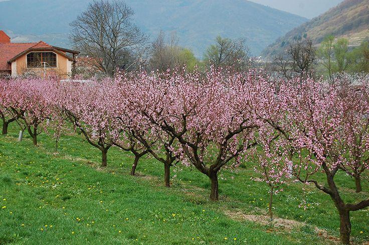 Aprikostrærnes blomstringstid er en av høydepunktene på våren i Wachau. Foto: Arnold Weisz ©
