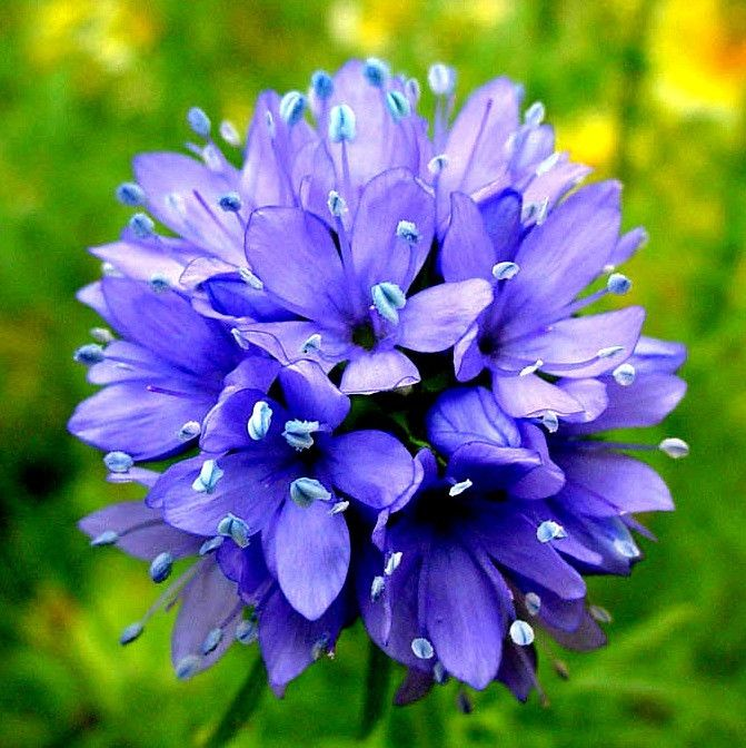 "Gilia is a bright blue wildflower that's charming, easy to grow and will thrive anywhere there's summer sun. From April through August you'll enjoy a sweep of cornflower blue balls bouncing on 10"" ste"
