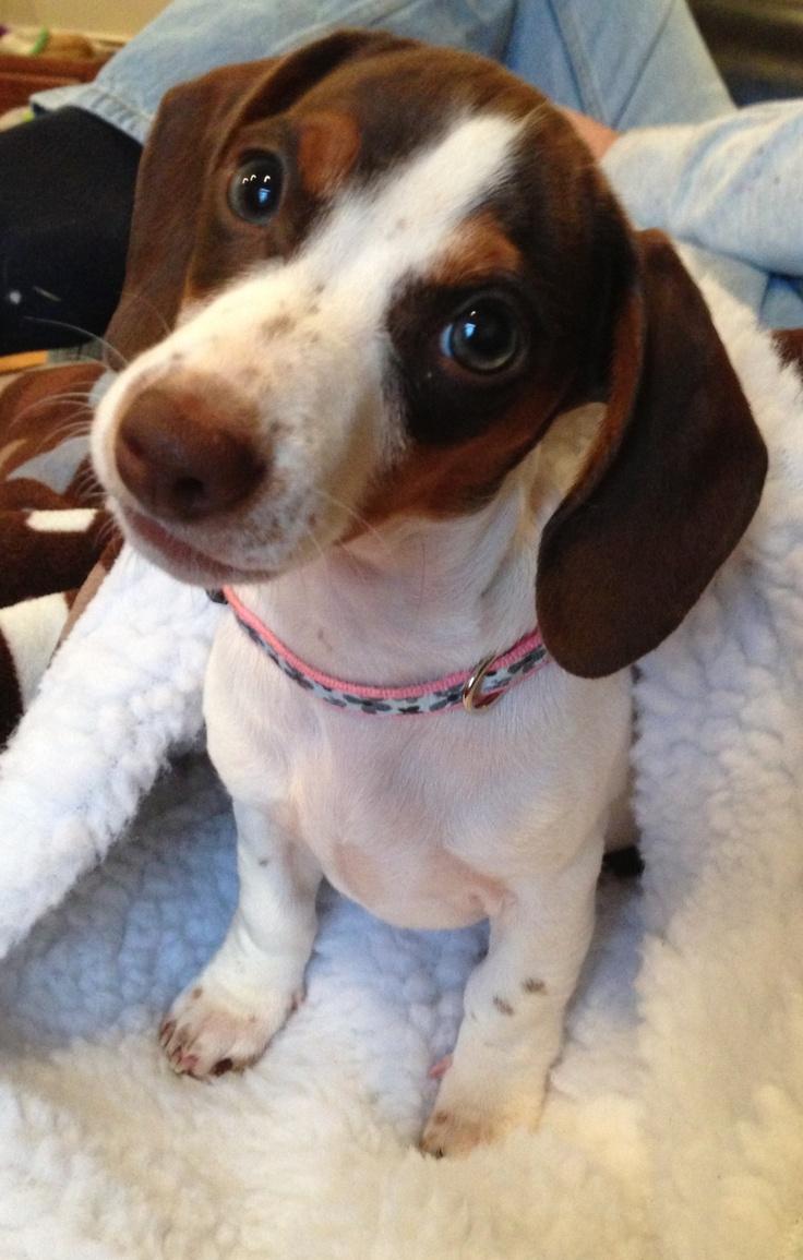 Good morning mom!  Beautiful piebald dachshund