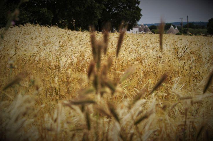 https://flic.kr/p/tV4UnM   Campo di grano   Campo di grano in Puglia con trulli