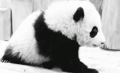 Animal Panda Information Funny Giff #4151 - Funny Panda Giffs  Funny Giffs  Panda Giffs