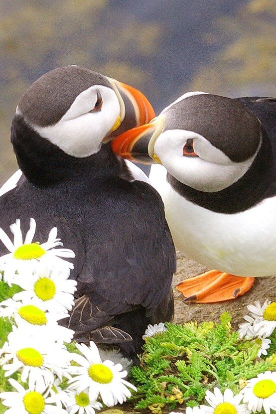 """And They Called it ~ Puffin Love."" Chillwall.com"