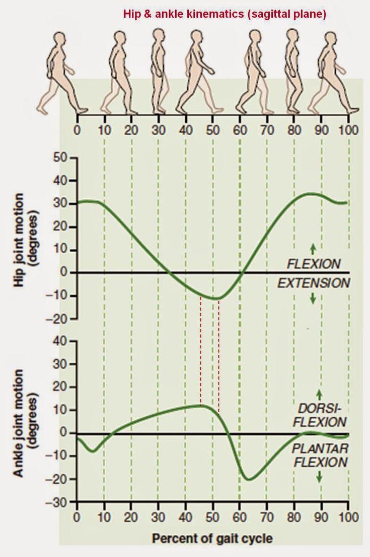 Valoración postural y artro-muscular. Prescripción de ejercicio preventivo/correctivo.: El Tensor de la Fascia Lata: ¿Víctima o verdugo del desequilibrio artro-muscular?