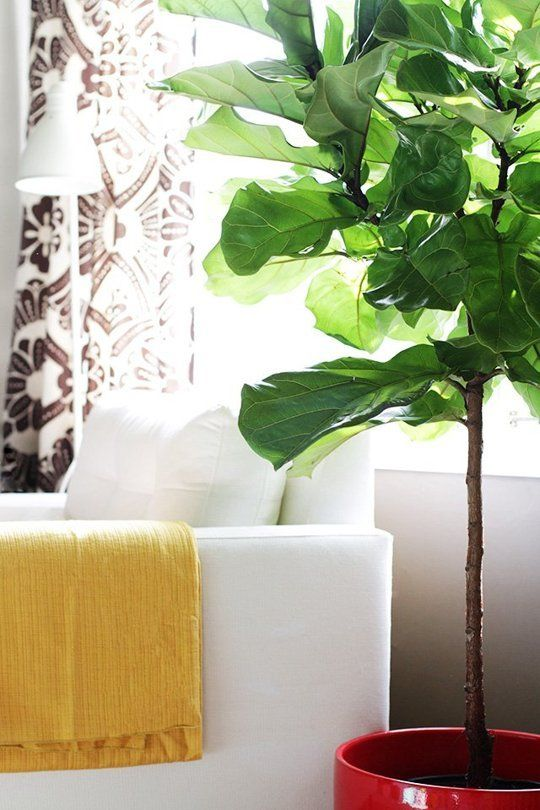 Tips for Growing Fiddle Leaf Figs (ficus lyrata) by apartmenttherapy. Image credit makingitlovely #Gardening #House_Plants #Fiddle_Leaf_Figs