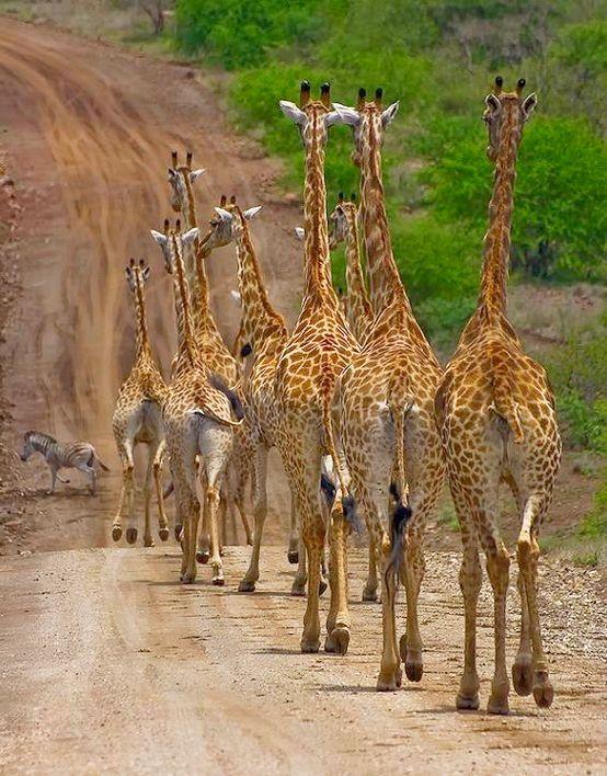 30 best images about Animals - Giraffes on Pinterest ...