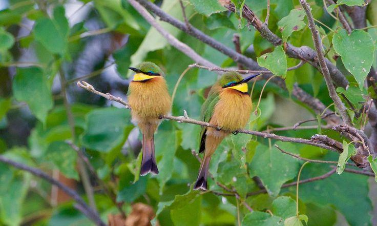 Little Bee-eater pair - null