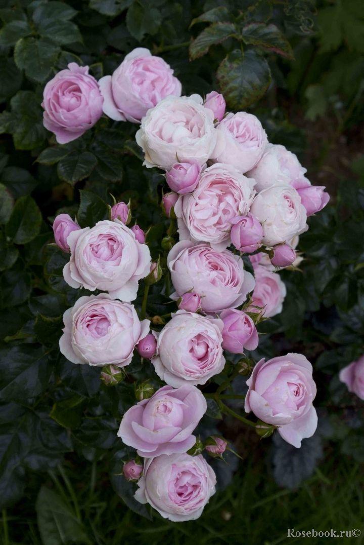 ... Hans Gonewein Rose