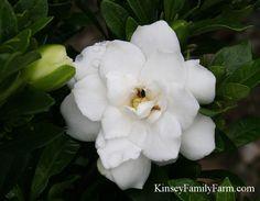 Dwarf Double Mint Gardenia Flowering evergreen Shrub for sun or partial shade