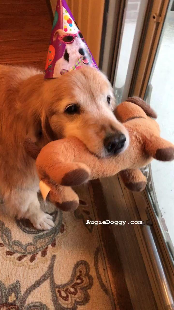 Video golden retriever ti is ready to party dog goldenretriever