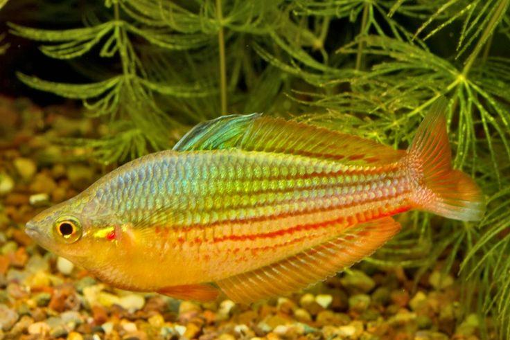 38 best freshwater fish rainbowfish and killifishes for Tropical rainbow fish
