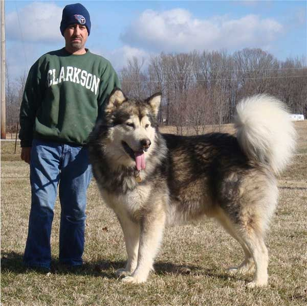 Hudsons Malamutes - Kibo  now this should be Daisys new friend.  Now thats a big dog.