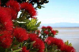 NZ Native Pohutukawa