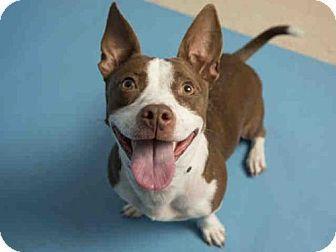 Phoenix AZ - Cardigan Welsh Corgi\/American Pit Bull Terrier Mix. Meet LOLA a dog for adoption.