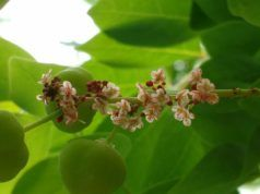 Medicina Ayurvedica: conosciamo composizione e proprietà della Triphala