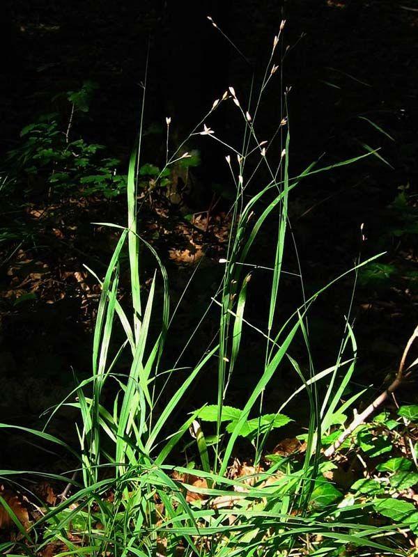 Melica uniflora - strdivka jednokvětá